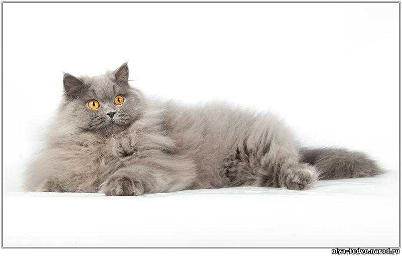 Длинношерстный британец кот